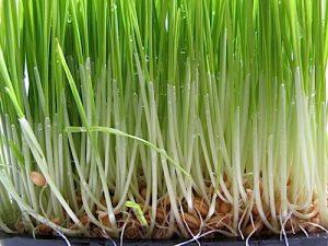 pšenična-trava